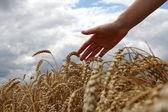 Mano nel campo di grano — Foto Stock