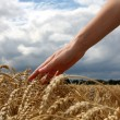 Hand in wheat field - Stock fotografie