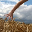 Royalty-Free Stock Photo: Hand in wheat field
