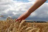 La mano en campo de trigo — Foto de Stock