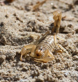 Scorpion — Stock Photo