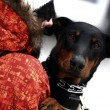 Doberman in winter - Stock Photo