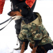 Doberman in winter — Stok fotoğraf