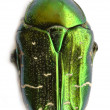 Shiny Green Beetle — Stock Photo