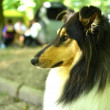 Beautiful Collie dog portrait — Stock Photo