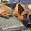 The sad lonely dog, German shepherd lies on asphalt — Stok fotoğraf