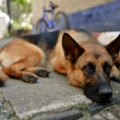 The sad lonely dog, German shepherd lies on asphalt — Stock Photo