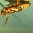 Detailed underwater photo of adult water bug great diving beetle — Stock Photo