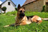 German shepard lying on grass near home — Stock Photo