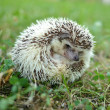 Hedgehog in the grass — Stock Photo #28845037