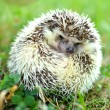 Stock Photo: Hedgehog in the grass
