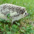 Hedgehog in the grass — Stock Photo #28845251