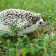 Hedgehog in the grass — Stock Photo #28845277