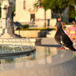 Pigeon drinking from the fountain in Makarska — Stock Photo #30371579