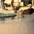 Pigeon drinking from the fountain in Makarska — Stock Photo #30372133