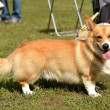 Welsh Corgi — Stock Photo