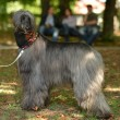Afghan Hound — Stock Photo #31632215