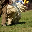 komondor — Stock Photo