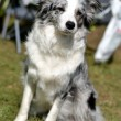 Border collie — Stock Photo #31632439