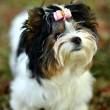 Yorkshire Terrier — Stockfoto #31632593