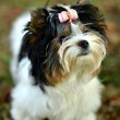 Stock Photo: Yorkshire Terrier