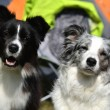 Border collie — Stock Photo #31632607