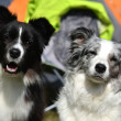 Stock Photo: Border collie