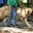 Stock Photo: English Mastiff