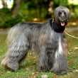 Afghan Hound — Stock Photo #31632903