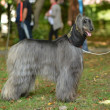 Stock Photo: Afghan Hound
