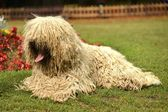 Komondor — Foto Stock
