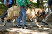 English Mastiff — Stok fotoğraf