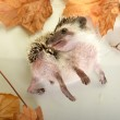 A cute little hedgehog with autumn leaves — Stock Photo