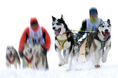 Musher hiding behind sleigh at sled dog race on snow in winter — Stock Photo