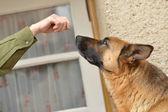德国牧羊犬 — 图库照片