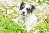 Chihuahua puppy — Stock Photo
