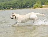 Hond zwemmen — Stockfoto