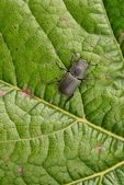 Female Stag Beetle — Stock Photo