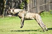 Dog training — Stock fotografie