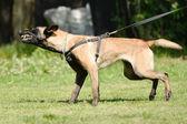 Dog training — Stock Photo