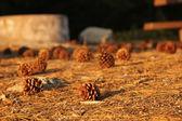 Pigne nell'accampamento di tramonto — Foto Stock