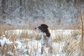 German Shorthair Pointer — Stock Photo