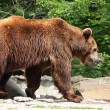 Stock Photo: Ursus arctos
