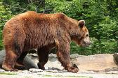 Ursus arctos — Stock Photo