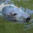 Seal (Halichoerus grypus grypus) — Stock Photo