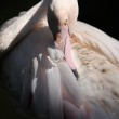 Flamingo (Phoenicopterus roseus) — Stock Photo