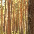 Royalty-Free Stock Photo: Pine forest