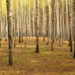 Birch trees — Stock Photo #13590415