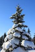 Pine-tree in snow — Stock Photo