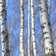 Birch wood in spring — Stock Photo
